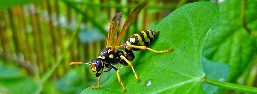 commonyellowjacket