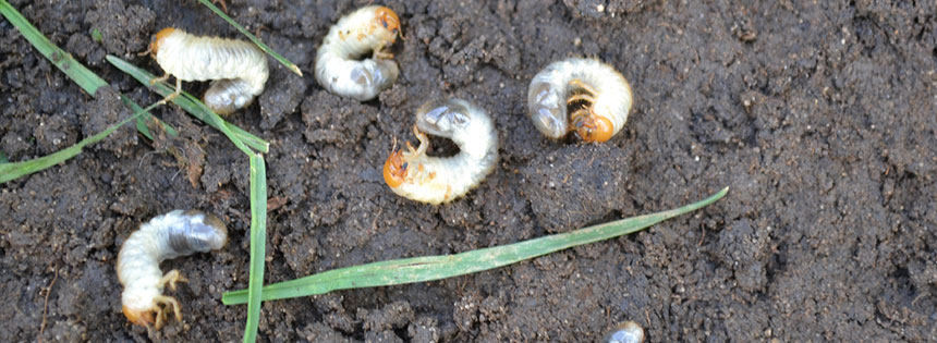 how to kill grubs in lawn uk