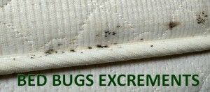 bed-bug-excrements