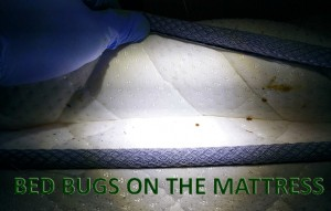 bed-bugs-on-the-mattress